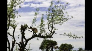 A displaced Dinka woman up a tree cutting wood, Mingkaman, Lakes State, South Sudan