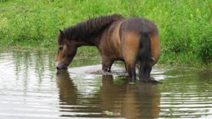 Pony in pond