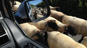 Sheep block a Gower road