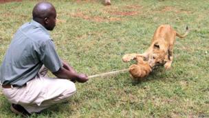 A warden playing with a lion cub at the the Nairobi Animal Orphanage, Nairobi, Kenya - Saturday 28 June 2014
