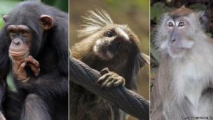 Chimpanzee, Marmoset and Macaque