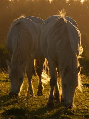 Horses and midges