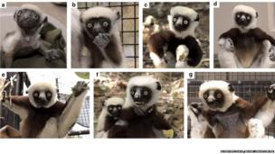 Life stages of a type of lemur called a sifaka