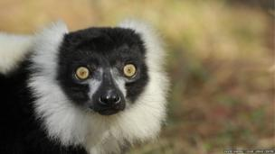 Geriatric black and white ruffed lemur