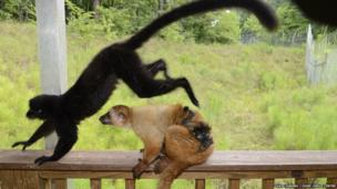 Blue-eyed black lemurs