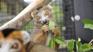 Crowned lemurs