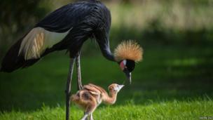 A mother Crane and her chick