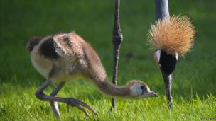 A baby crane chick with it's parent