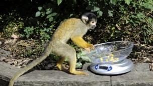Squirrel monkey holding scale