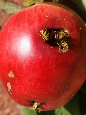 Wasps eating an apple