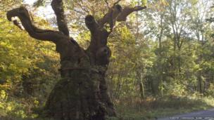Big Bellied Oak, Savernake Forest, Wiltshire