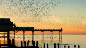 Starlings coming home to roost in Aberystwyth