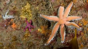 Species of starfish (left to right spiny starfish, bloody henry, seven armed starfish)