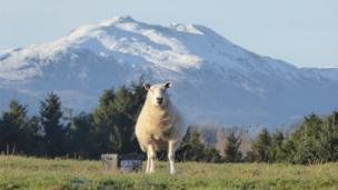 Sheep at Ben Ledi