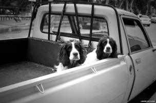 Dogs in a truck