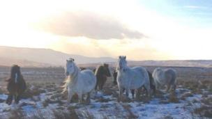 Wild ponies on the Brecon Beacons taken by Louise Kumar