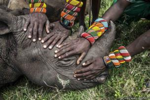 A group of young Samburu warriors encounter a rhino for the first time in their lives. 23 November 2014