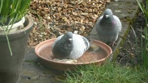 Margo Stevens spotted these pigeons enjoying a bath in her garden in Kirkintilloch.