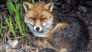 This fox was sheltering from the rain in the back garden of David Alexander Elder in East Kilbride.