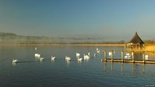 Swans at Llangorse Lake, in Powys on Easter Monday