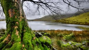 Moss-covered trees as Llyn Dywarchen, Rhyd Ddu, in Gwynedd