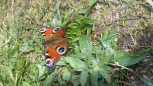 A butterfly in Coed Craig Ruperra, near Draethen, Caerphilly