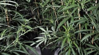 drug plants