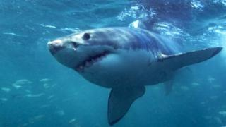発信機を付けたサメを密猟者が狙う