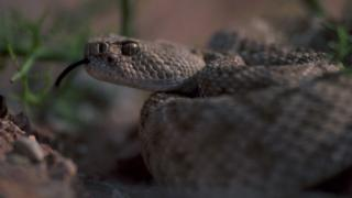 A rattlesnake in the Arizona desert