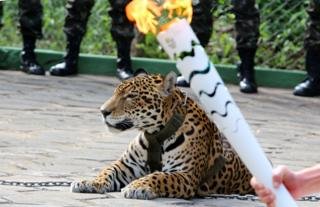 The Olympic Torch, hold by an athlete, is seen by a jaguar -symbol of Amazonia- during a ceremony in Manaus, northern Brazil, on 20 June 2016.