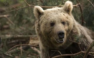 A Eurasian brown bear, near Sarikamis, eastern Turkey