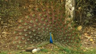 Peacock is seen displaying its full feathers during the third round of the Hero Indian Open at Delhi Golf Club on March 19, 2016 in New Delhi, India.