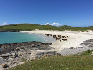 Cattle on Vatersay beach