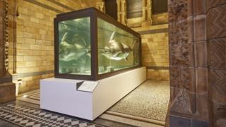 Blue marlin on display at London's Natural History Museum