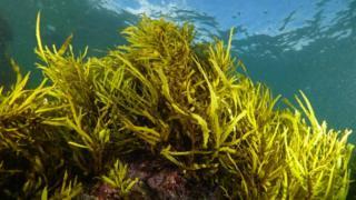 Phyllospora comosa (Image: John Turnbull)