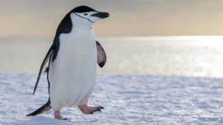 Антарктичний пінгвін (Pygoscelis antarcticus)