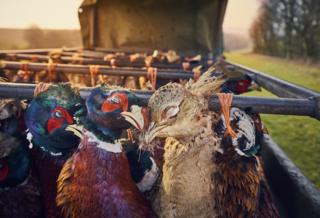 Pheasants at Sunset