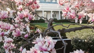 El árbol de magnolia en la primavera de 2014