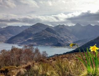 Daffodils on the Ratagan Pass, on the way to Glenelg