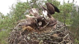 Loch of the Lowes ospreys