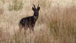 Black roe buck