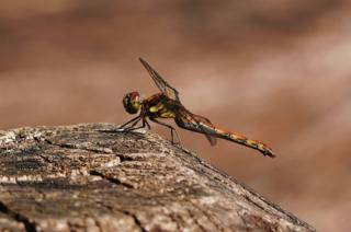 A common darter at Eskrigg nature reserve near Lockerbie
