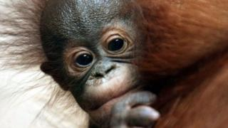 Orangutan banyak diburu untuk dijadikan hewan peliharaan.