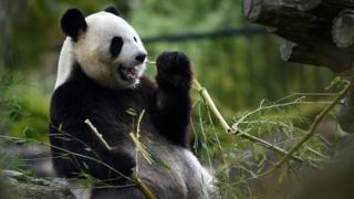 A Panda Bear eating Bamboo