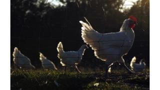 Une épidémie qui a entraîné l'abattage de plus de 715 000 volailles.