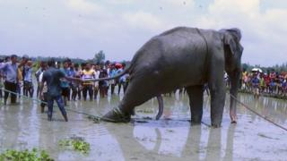 crowds pulling on an elephant with ropes in floodwater, 16 August 2016