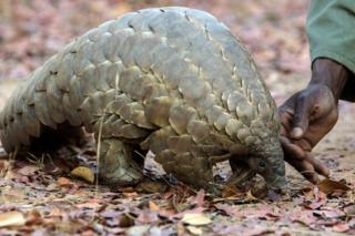 "This file photo taken on 22 September 2016 shows a Zimbabwe game reserve guide touching ""Marimba"", a female pangolin weighing 10kgs that has been nine years in care at Wild Is Life animal sanctuary just outside the country's capital Harare."