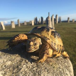 Tortoise at Callanish stones