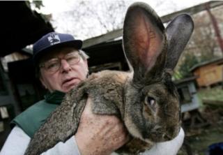 гігантський кролик