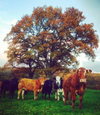 Autumn leaves and matching coloured cows